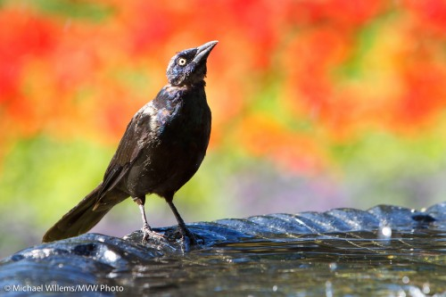 Bird, Fountain and Flowers (Toronto, 29 August) - photo by Michael Willems
