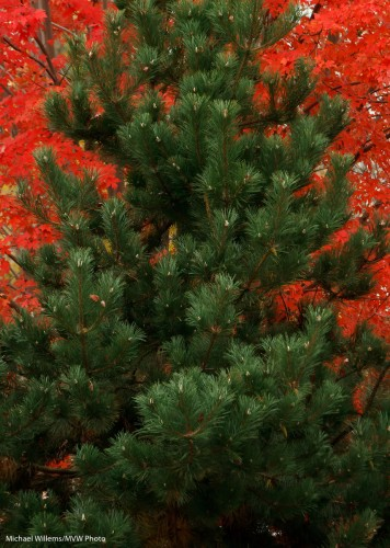 Coniferous vs. deciduous in October