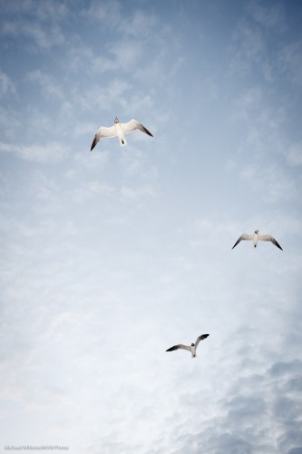 Sint Maarten Seagulls (Photo: Michael Willems)